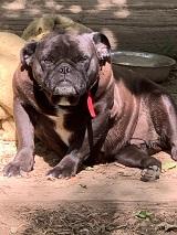 Tara    französische Bulldogge