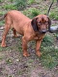 Amadeusz, Hannoverscher-Schweißhund, reserviert