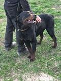 Arthur, Rottweiler